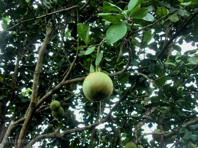 Экзотические тайские фрукты - помело