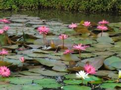 Пруд с водными лилиями, Таиланд