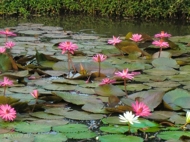 water lily pond waterlilies - photo #29