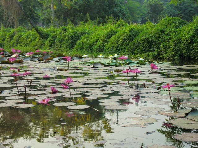 Water Lily Pond Thailand