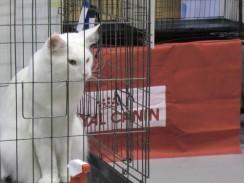 Выставка кошек в Таиланде, Чианг Май 2013 Siam cat show